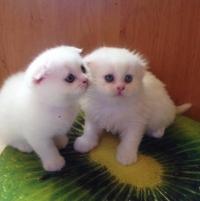 Уникални бели шотландски клепоухи