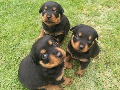 Най-сладките ротвайлерчета - 7 женски и 4 мъжк