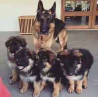 Кученцата на немската овчарка са готови