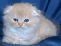 Бежово клепоухо дългокосместо котенце
