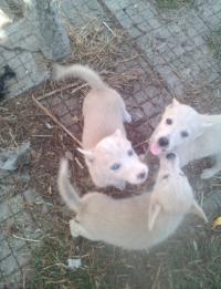 Две синеоки бели кученца за продажба