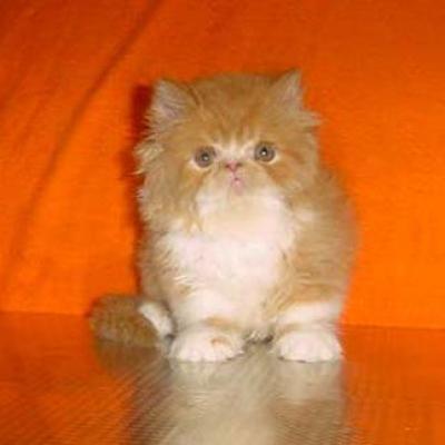 Две червено-бели персийски котета