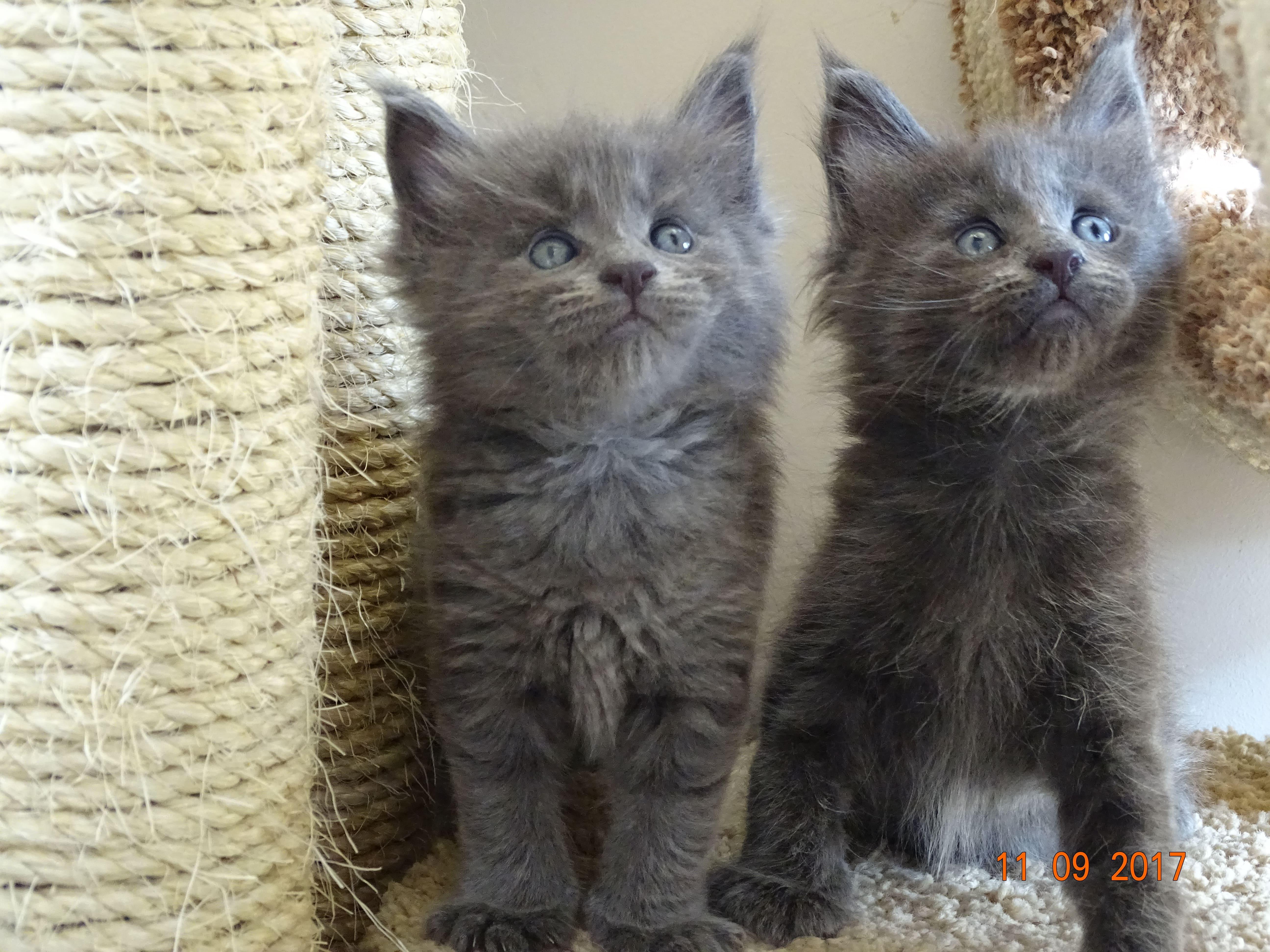 котенца от породата Мейн Куун