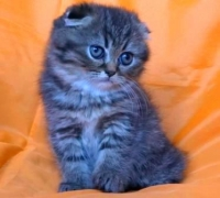 Клепоухо късокосместо таби котенце