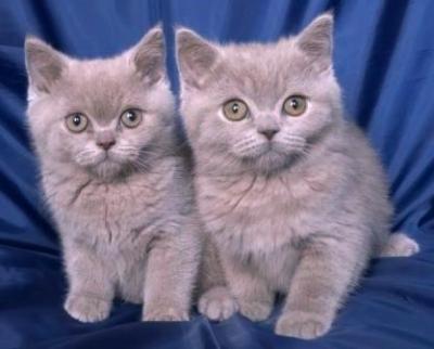 Чистокръвни Британски късокосмести котета
