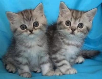 Силвер таби - късокосмести шотландските котета