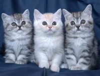 British and scottish fold
