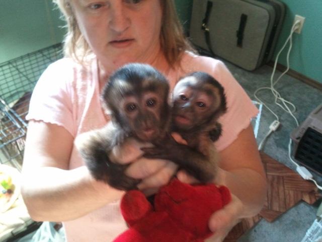 Изключително сладки маймуни капуцин за добри д