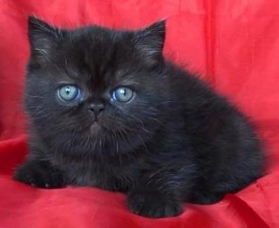 Черно късокосместо мъжко котенце