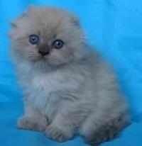 Син - пойнт клепоухо котенце със сини очи