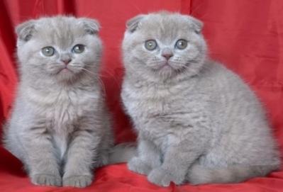 Лилави късокосмести клепоухи котета