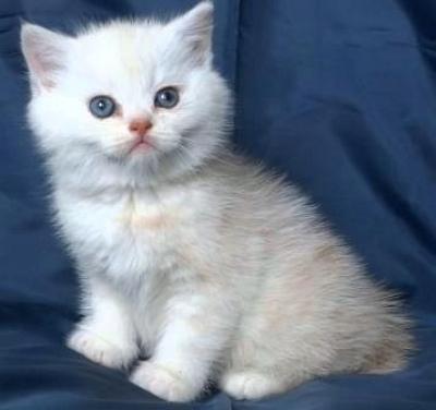 Шотландско късокосместо бежово котенце