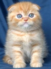 Клепоухо късокосместо мъжко котенце