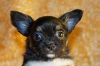 Mnogo sladursko chihuahua bebe myzhko cherno