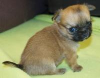 Много сладурско чихуахуа бебе мъжко