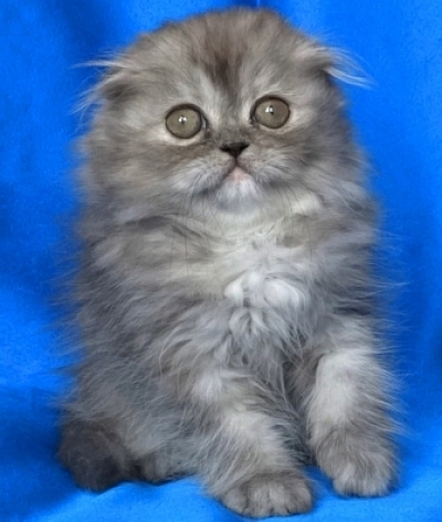 Клепоухо дългокосместo женскo котенце