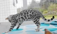 Имаме красиви котки от Бенгал, които отглеждам