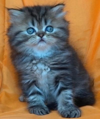 Златисто късокосместо женско котенце