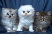 Дългокосмести клепоухи котета