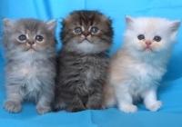 Клепоухи дългокосмести котенца