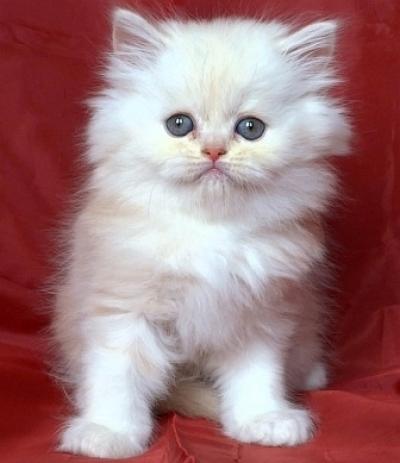 Шотландско светло кремаво котенце