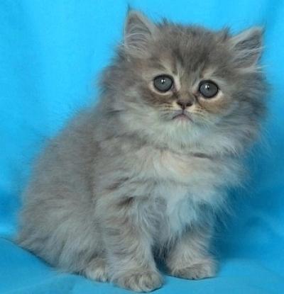 Светло синьо женско котенце