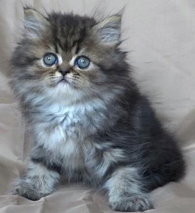 Шотландско златисто таби котенце