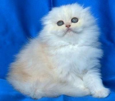 Уникално!!! - клепоухо мъжко котенце