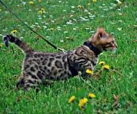 Бенгалски котенца