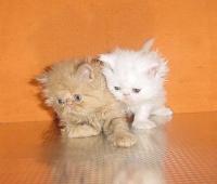 Персийски котенца - малки сме ,но бързо растем