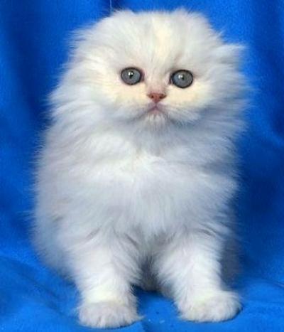 Бяло клепоухо котенце