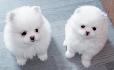 малки порцеланови кученца