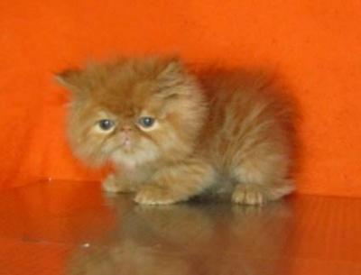 Персийски котенца - есктремали