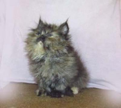 Персийско коте-момиче