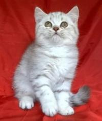 Сребърно късокосместо котенце