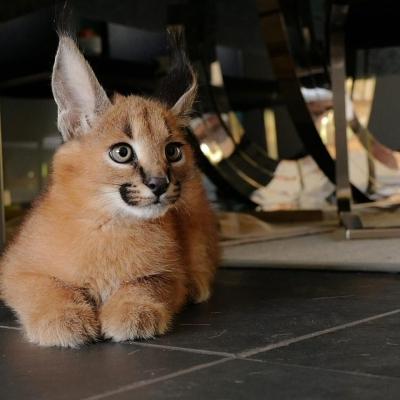 Нашите Serval, Savannah F1 и Caracal котенца с