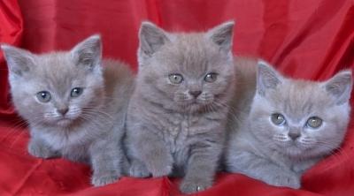 Късокосмести Британски котета
