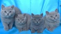 Чистокръвни Британски котенца