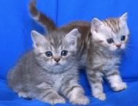 Късокосмести таби котенца