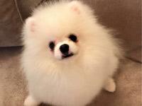 Померан кученца с родословие