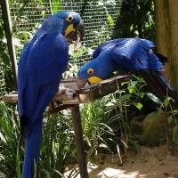 Папагали от макаровия хиацинт