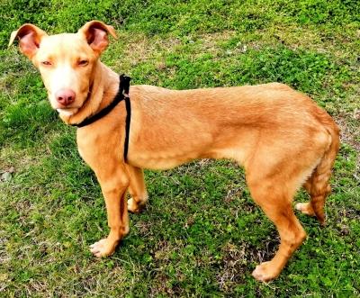 Продава петмесечно фараоново куче мъжко